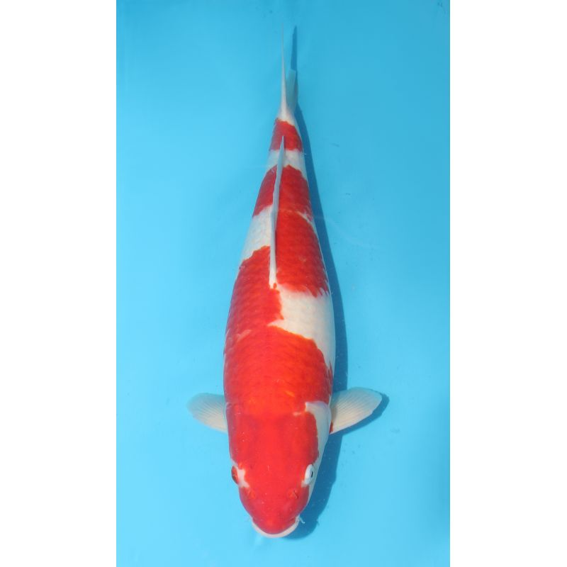 Koi israel kohaku 60cm poisson d 39 or sa for Koi 9 en israel