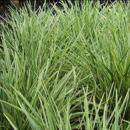 Ophiopogon variegatum