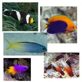 """Lot de poissons marins N°2 : """"Pour aquarium récifal de 130 litres."""