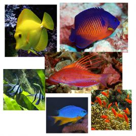 """Lot de poissons marins N°3 :""""Pour aquarium récifal de 250 litres"""""""
