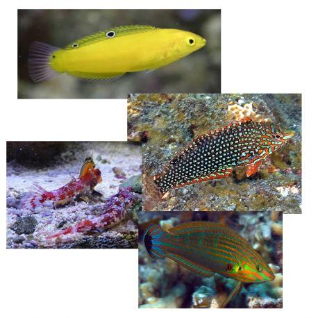 """Lot de poissons marins n°6 :""""Mangeurs de planaires pour aquarium récifal"""""""