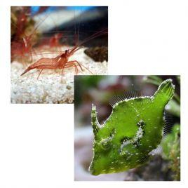"""Lot de poissons marins et crevettes N°5 : """"Mangeurs d'aiptasias (anémones de verre)"""""""