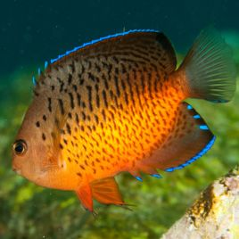 Centropyge Ferrugatus : 3-5 cm