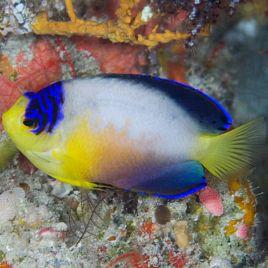 Centropyge Multicolor : 5 à 7 cm
