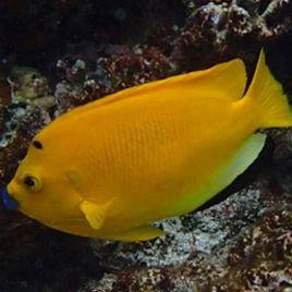Apolemichthys trimaculatus : 15 à 20 cm
