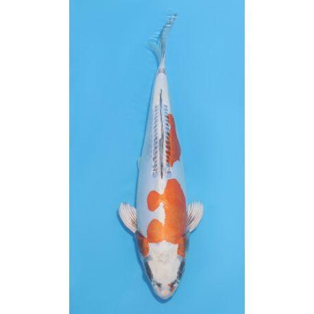 Koï Japon kikokuryu éleveur kawakami nisai taille: 27-35cm