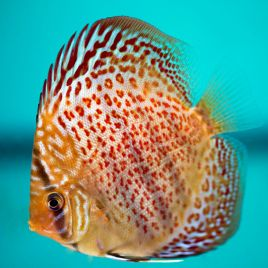 Vente en ligne aquariophilie poisson d 39 or poisson d 39 or sa for Vente aquariophilie
