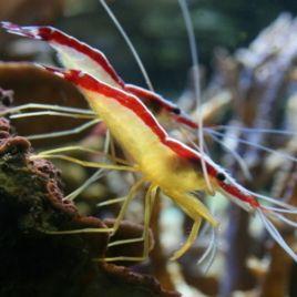 Lysmata amboinensis*-crevette nettoyeuse 3-5 Cm par 2