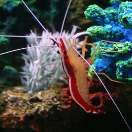Lysmata amboinensis*-crevette nettoyeuse 5-7 CM