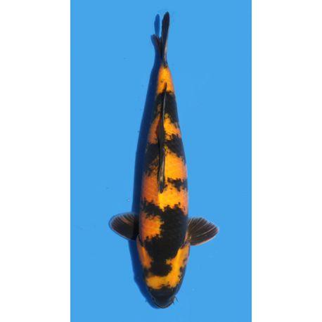 Koï Japon Ki Utsuri éleveur Shinodataille +-40cm Nisai