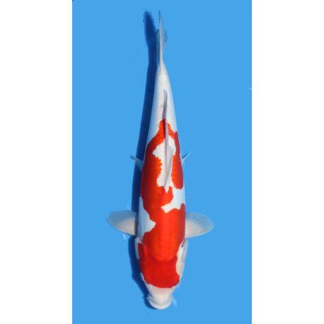 Koï Japon Doitsu Kohaku éleveur Shinodataille +-40cm Nisai