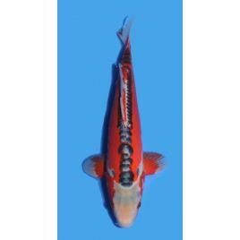 Koï Japon Shusui éleveur Maruhirotaille 30-35cm Nisai