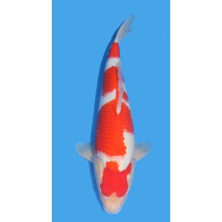 Koï Japon Kohaku éleveur Himitsu Daiinichi Blood Linetaille 40-45cm Nisai