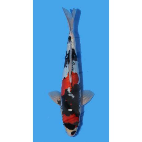 Koï Japon Doitsu Showa éleveur Shinodataille +-40cm Nisai