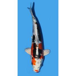 Koï Japon Beni Kikokuryu éleveur Seiki taille: 30-35cm Nisai