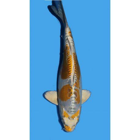 Koï Japon Ki Kikokuryu éleveur Seikitaille 30-35cm Nisai
