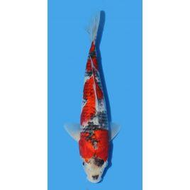 Koï Japon Goshiki éleveur Seiki taille: 30-35cm Nisai