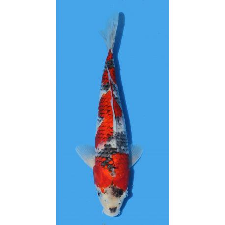 Koï Japon Goshiki éleveur Seikitaille 30-35cm Nisai