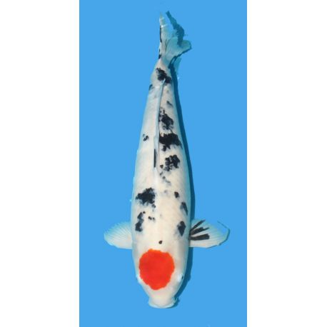 Koï Japon Tancho Sanke Oofuchi Femelle Gosai 67 cm