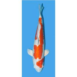 Koï Japon Kikusui Marusaka Mâle Sansai 62 cm