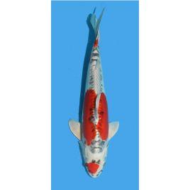 Koï Japon Yamatonishiki Marusaka Mâle Sansai 48 cm