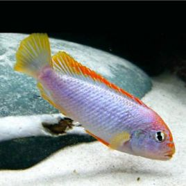 Pseudotropheus Red Top Ndumbi 4-5cm