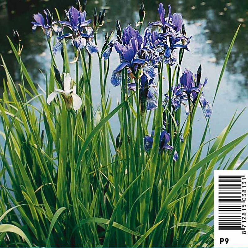 Iris Sibirica - Iris de Sibéri bleu