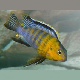 Pseudotropheus Tropheops-Macrophtalmus Red Cheeck Le Couple 8-10cm