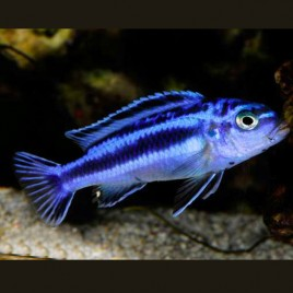 Melanochromis Maingano 4-5cm
