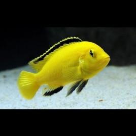 Labidochromis Caeruleus 6-8cm lot de 2