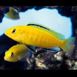 Labidochromis Caeruleus le couple 8-10cm