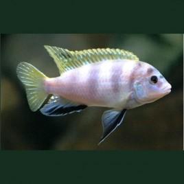 Labidochromis Perlmutt Mara Reef le couple 8-10cm