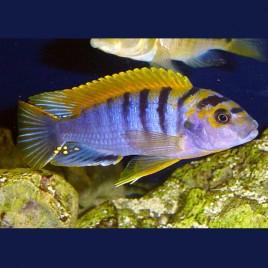 Labidochromis Hongi super red top 8-10 cm le couple