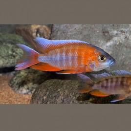Aulonocara Trematocranus Jacobfreiberghi le couple 10-12cm