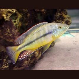 Hapl - Dimidiochromis Kiwinge le couple 10-12cm