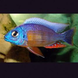 Hapl - Taiwan Reef le couple 10-12cm