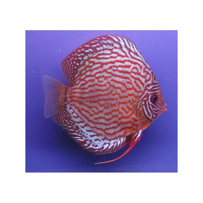 Discus turquoise rouge 15 17 cm le couple poisson d 39 or sa for Prix poisson rouge 15 cm